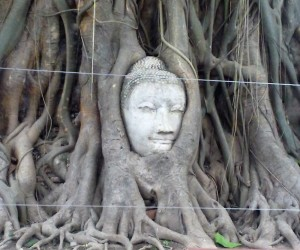 Testa del Buddah nell'albero (2)