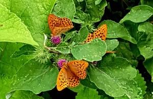 farfalle Fai